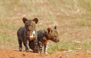 African Wild Dog Wallpapers HD