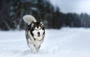 Alaskan Malamute HD Wallpaper