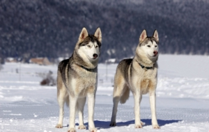 Alaskan Malamute High Quality Wallpapers
