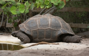 Aldabra Giant Tortoise High Definition Wallpapers