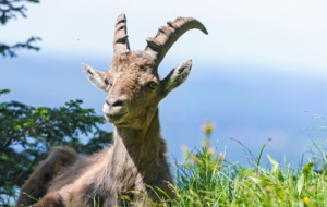 Alpine Ibex Background