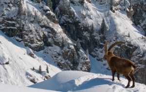 Alpine Ibex HD