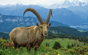 Alpine Ibex HD Background