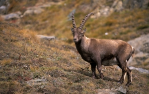 Alpine Ibex Wallpapers