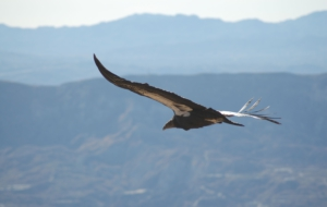 California Condor Background