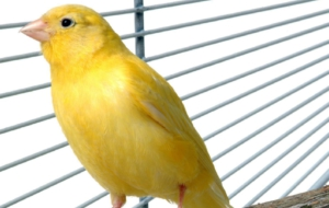 Canary Free HD Wallpapers