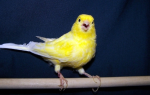Canary HD Background