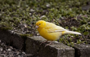 Canary Images