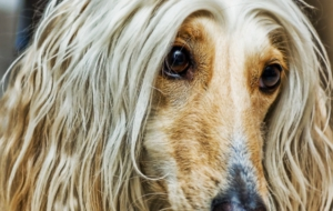 Pictures Of Afghan Hound