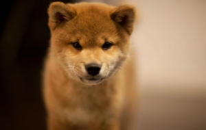 Pictures Of Akita