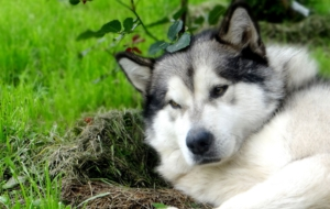 Pictures Of Alaskan Malamute