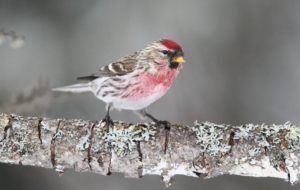 Сommon Redpoll Free HD Wallpapers