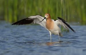 American Avocet High Quality Wallpapers