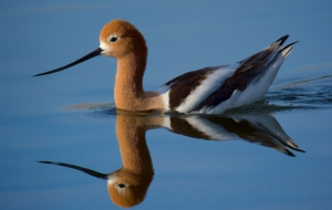 American Avocet Images