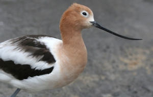 American Avocet Pictures