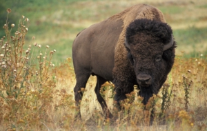 American Bison Computer Backgrounds