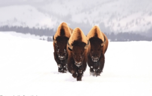 American Bison Free Download