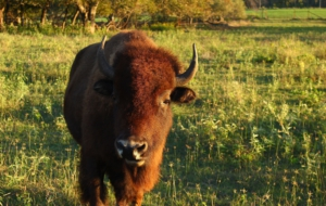 American Bison HD Background