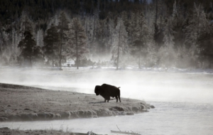 American Bison High Definition Wallpapers