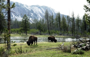 American Bison Free Images