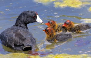 American Coot Background