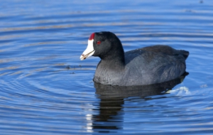 American Coot High Quality Wallpapers