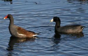 American Coot Wallpapers