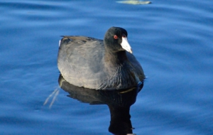 American Coot Wallpapers HD