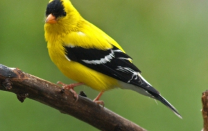 American Goldfinch High Definition Wallpapers