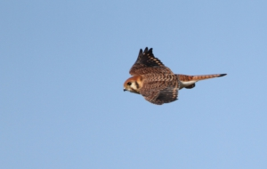 American Kestrel HD Background