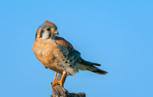 American Kestrel HD Desktop