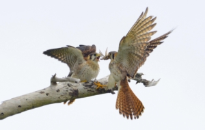 American Kestrel High Definition Wallpapers