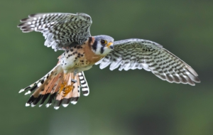 American Kestrel Wallpaper
