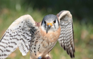 American Kestrel For Desktop
