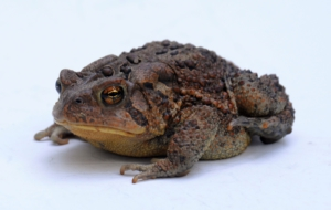 American Toad Background
