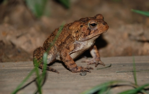 American Toad HD Background