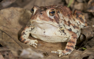 American Toad High Definition Wallpapers