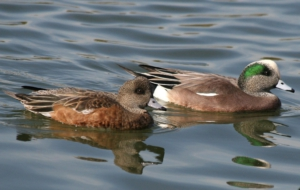American Wigeon Background