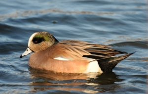 American Wigeon High Definition Wallpapers