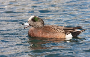 American Wigeon Images