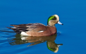 American Wigeon Pictures