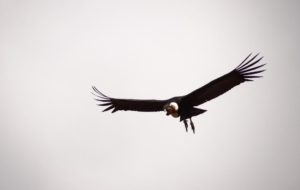 Andean Condor High Definition Wallpapers