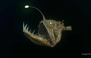 Anglerfish Widescreen