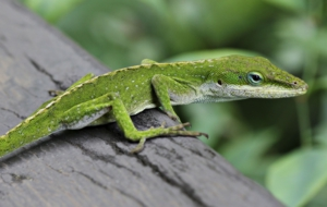 Anole Pictures