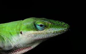 Anole Widescreen