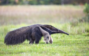 Anteater High Definition Wallpapers