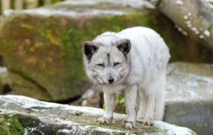 Arctic Fox Download Free Backgrounds HD