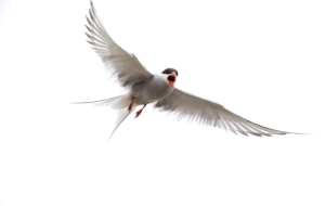 Arctic Tern High Definition Wallpapers