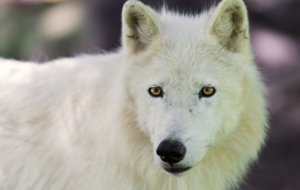 Arctic Wolf High Definition Wallpapers