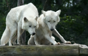 Arctic Wolf High Quality Wallpapers